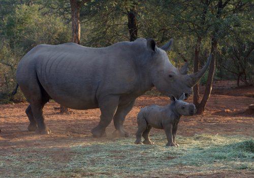 An adult rhino standing next to a baby rhino